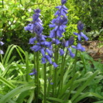 Group logo of Bluebells