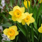 Group logo of Daffodils